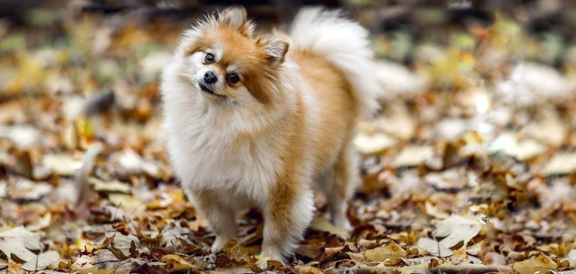 Boo >> Pomeranian Boo Fiyatlari Hakkinda Bilinmesi Gerekenler